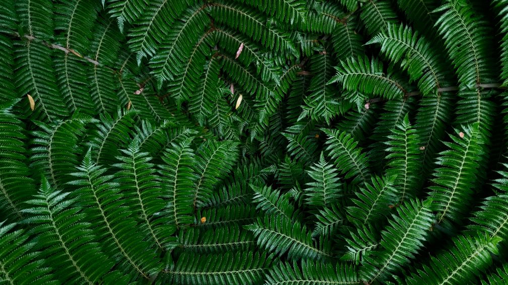 NZ native ferns close up